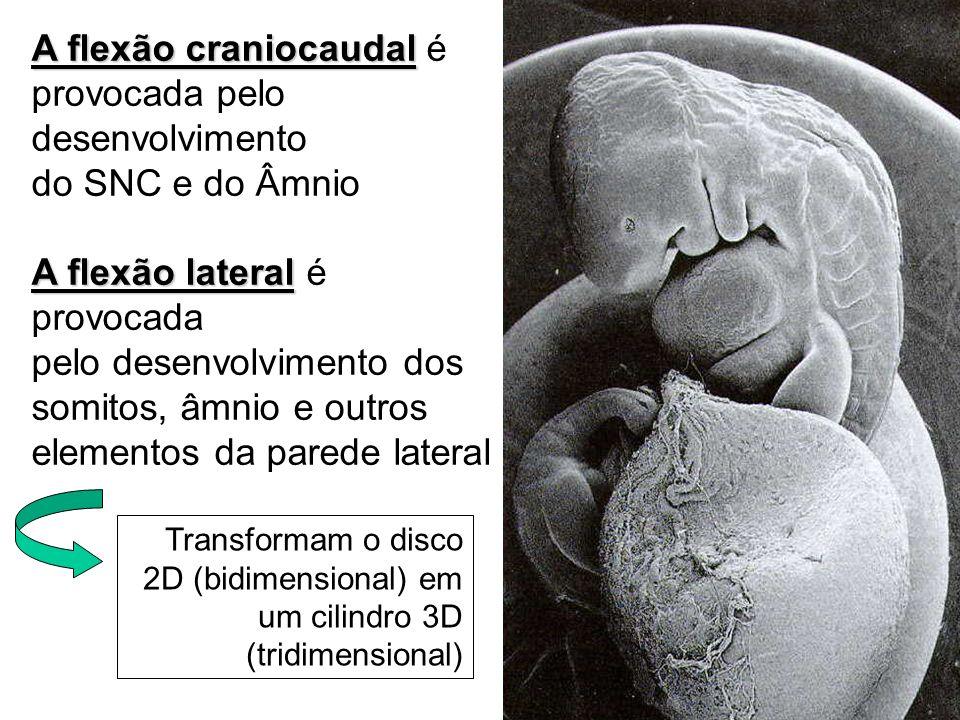 A flexão craniocaudal A flexão craniocaudal é provocada pelo desenvolvimento do SNC e do Âmnio A flexão lateral A flexão lateral é provocada pelo dese