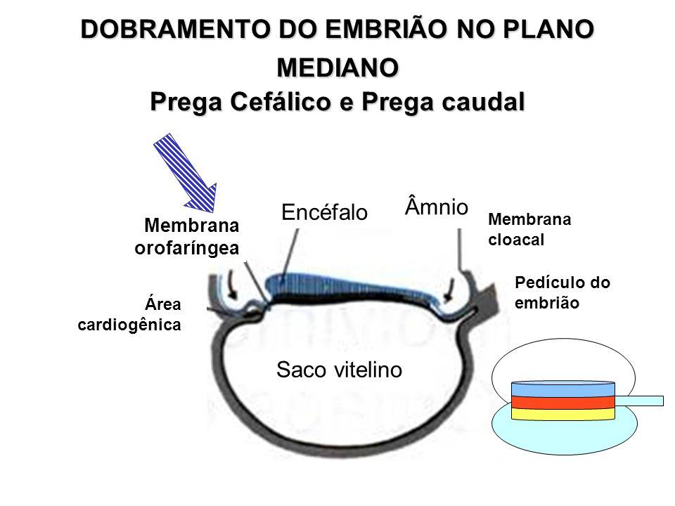 5 a SEMANA O crescimento da cabeça excede o de outras regiões do corpo O rosto toca a saliência cardíaca Desenvolve-se a placa das mãos e os primórdios dos dedos (raios digitais)