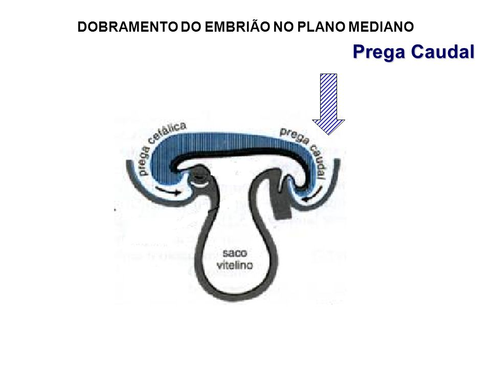 DOBRAMENTO DO EMBRIÃO NO PLANO MEDIANO Prega Caudal