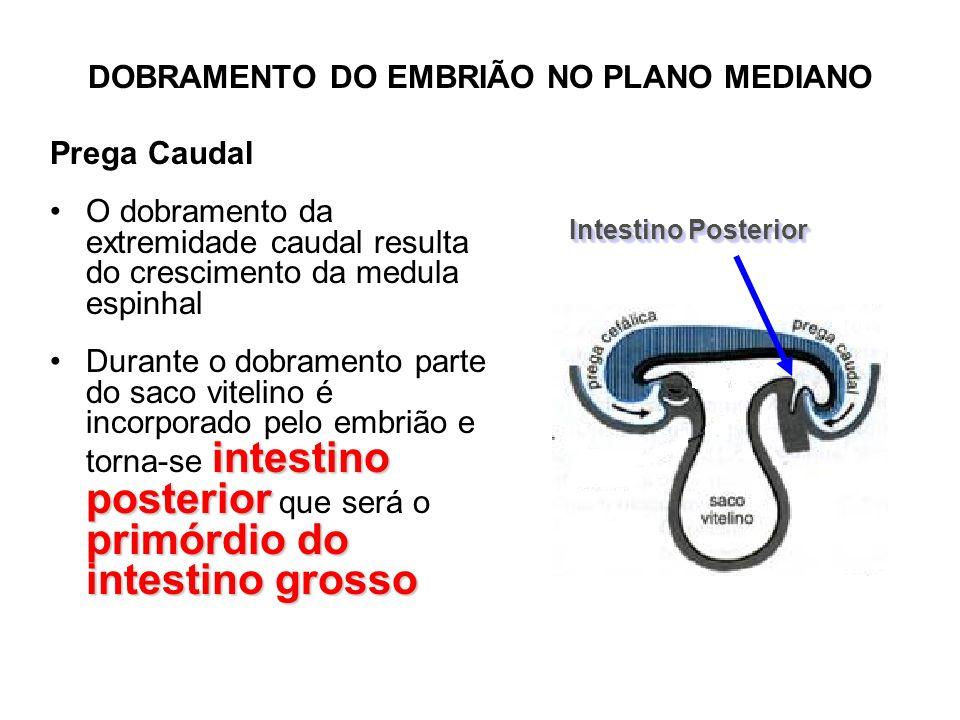Prega Caudal Intestino Posterior 1.Cólon ascendente, parte do cólon transverso, reto e porção superior do canal anal 2.Epitélio da bexiga urinária e maior parte da uretra 3.Sistema respiratório inferior: laringe; traquéia; brônquios e pulmões Intestino Posterior