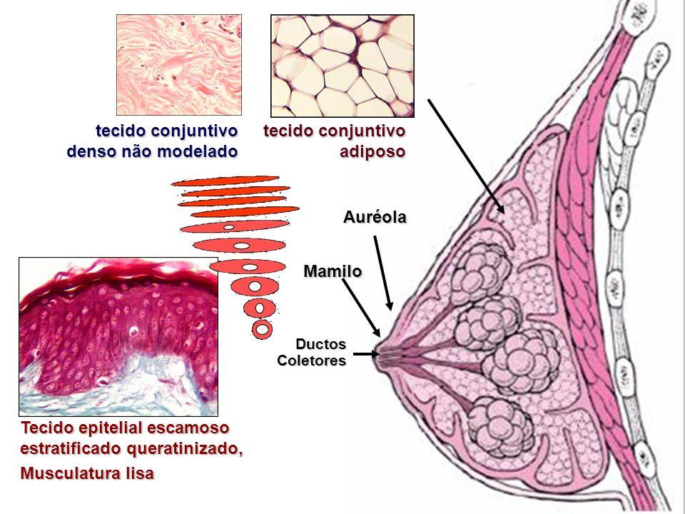 Mamilo Tecido epitelial escamoso estratificado queratinizado, Musculatura lisa Auréola Ductos Coletores tecido conjuntivo adiposo tecido conjuntivo de