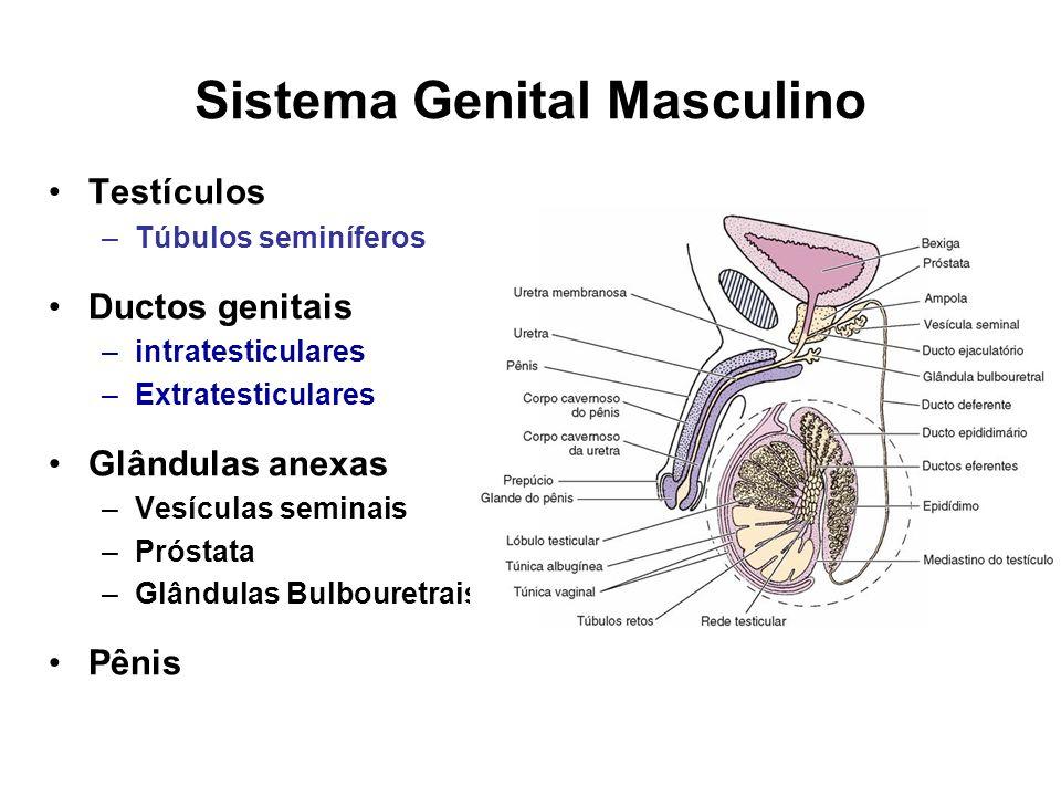 Sistema Genital Masculino Testículos –Túbulos seminíferos Ductos genitais –intratesticulares –Extratesticulares Glândulas anexas –Vesículas seminais –