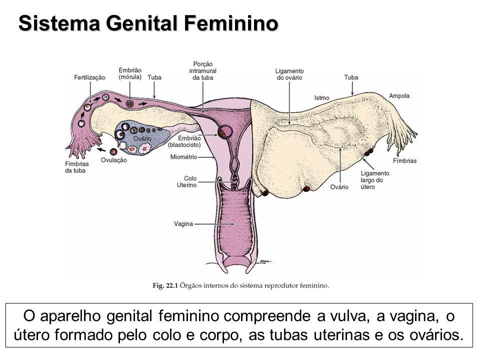 Sistema Genital Feminino O aparelho genital feminino compreende a vulva, a vagina, o útero formado pelo colo e corpo, as tubas uterinas e os ovários.