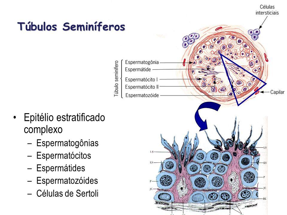 Epitélio estratificado complexo –Espermatogônias –Espermatócitos –Espermátides –Espermatozóides –Células de Sertoli Túbulos Seminíferos