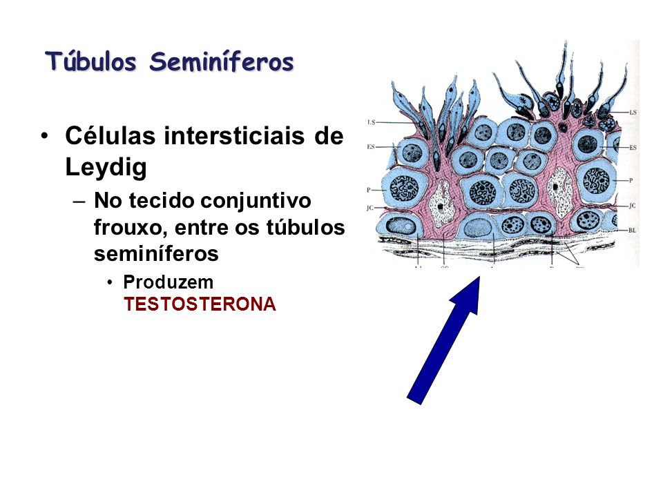Túbulos Seminíferos Células intersticiais de Leydig –No tecido conjuntivo frouxo, entre os túbulos seminíferos Produzem TESTOSTERONA