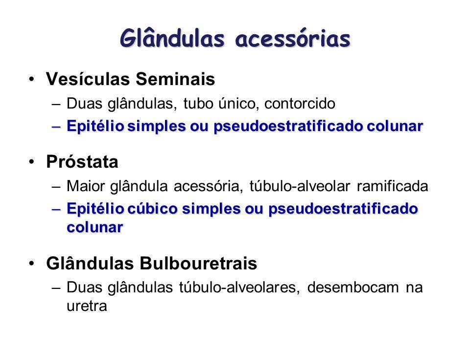 Glândulas acessórias Vesículas Seminais –Duas glândulas, tubo único, contorcido –Epitélio simples ou pseudoestratificado colunar Próstata –Maior glând