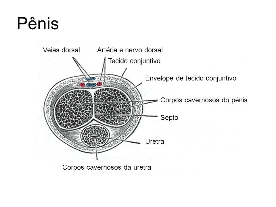 Pênis Corpos cavernosos do pênis Corpos cavernosos da uretra Uretra Septo Envelope de tecido conjuntivo Veias dorsalArtéria e nervo dorsal Tecido conj