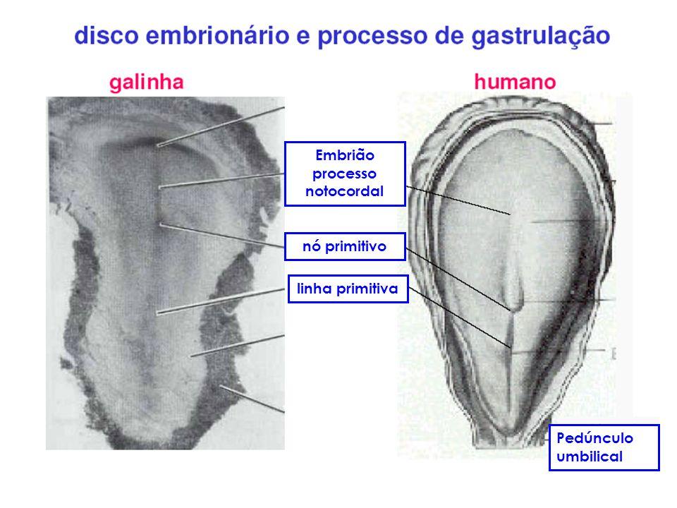 linha primitiva nó primitivo Embrião processo notocordal Pedúnculo umbilical
