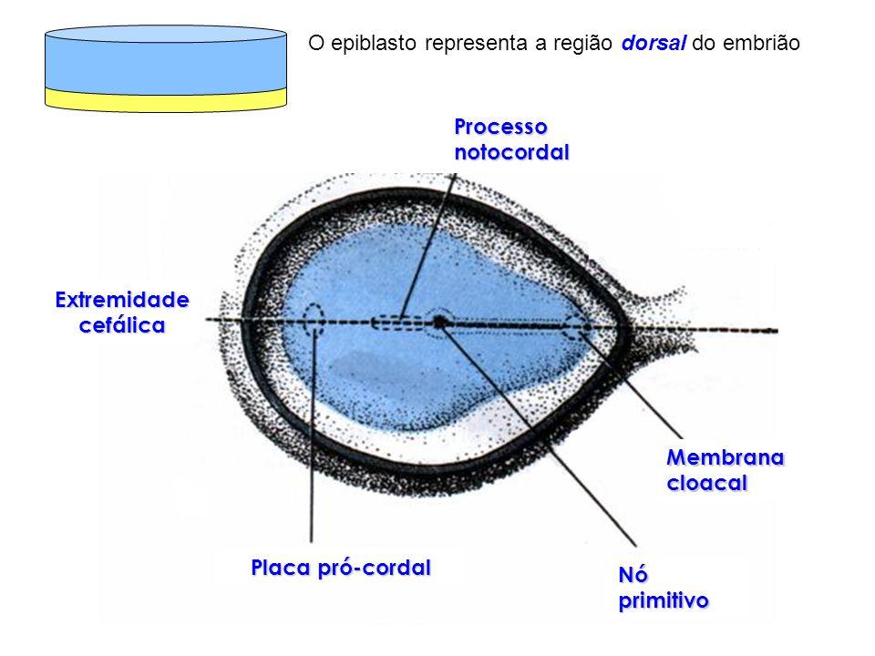 O epiblasto representa a região dorsal do embrião Processo notocordal Extremidade cefálica Placa pró-cordal Nó primitivo Membrana cloacal