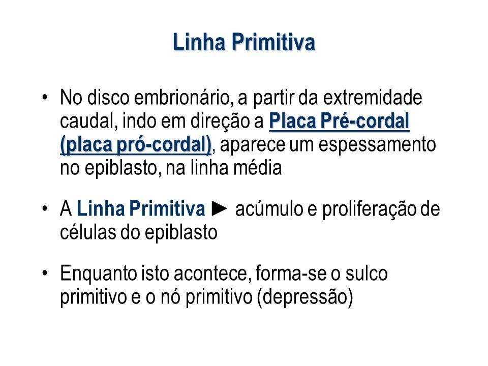 Linha Primitiva Placa Pré-cordal (placa pró-cordal)No disco embrionário, a partir da extremidade caudal, indo em direção a Placa Pré-cordal (placa pró