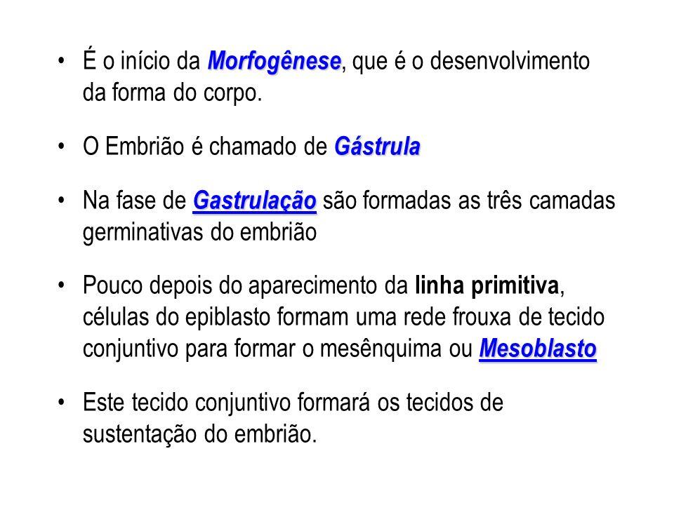MorfogêneseÉ o início da Morfogênese, que é o desenvolvimento da forma do corpo. GástrulaO Embrião é chamado de Gástrula GastrulaçãoNa fase de Gastrul