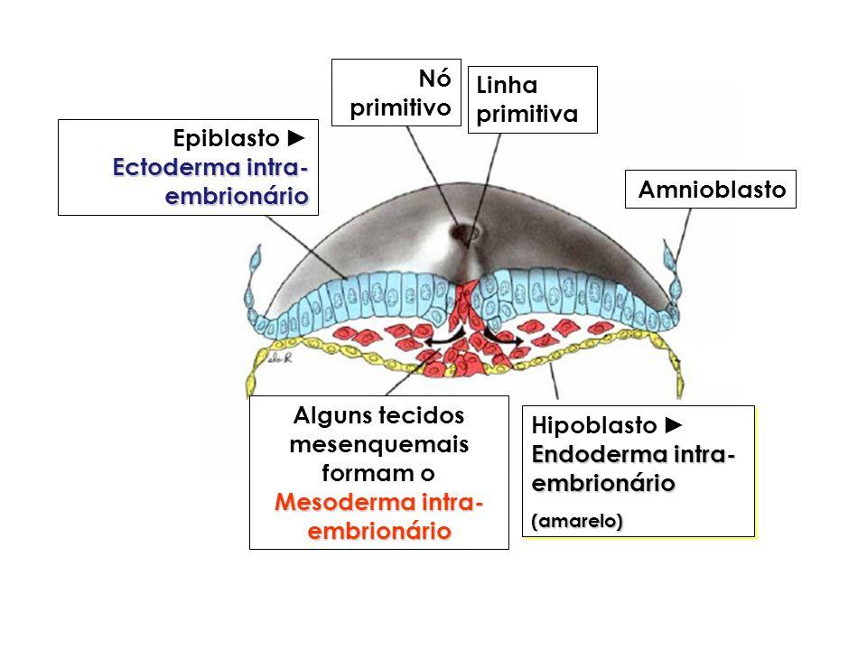 Ectoderma intra- embrionário Epiblasto Ectoderma intra- embrionário Mesoderma intra- embrionário Alguns tecidos mesenquemais formam o Mesoderma intra-