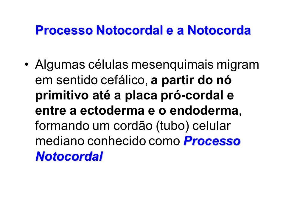 Processo Notocordal e a Notocorda Processo NotocordalAlgumas células mesenquimais migram em sentido cefálico, a partir do nó primitivo até a placa pró