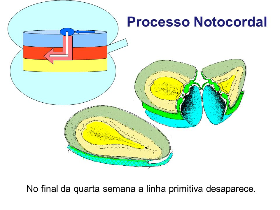 Processo Notocordal No final da quarta semana a linha primitiva desaparece.