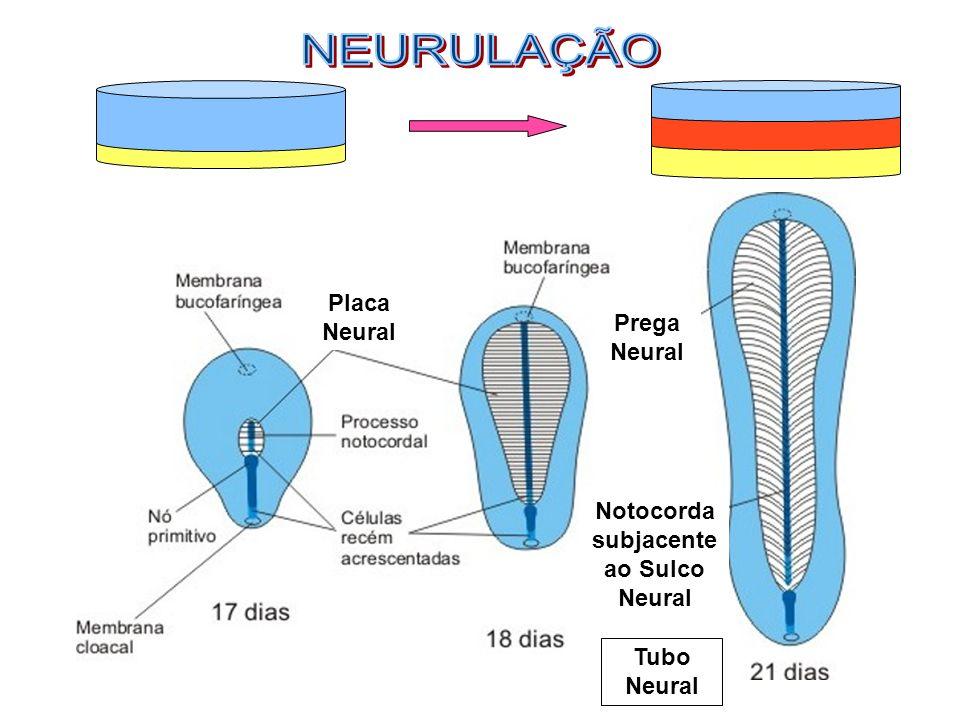Placa Neural Prega Neural Notocorda subjacente ao Sulco Neural Tubo Neural