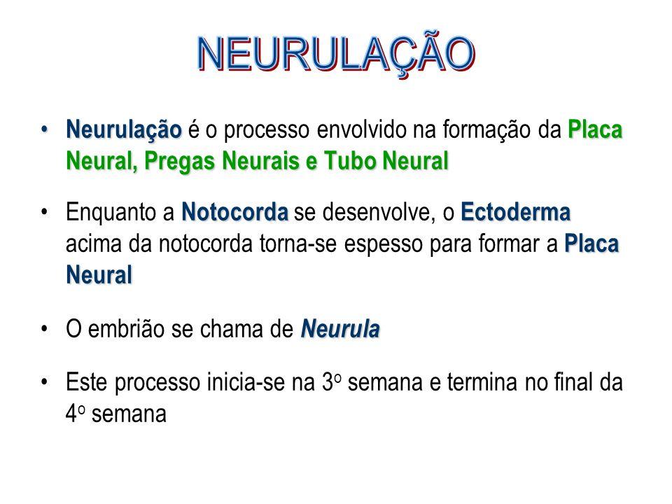 NeurulaçãoPlaca Neural, Pregas Neurais e Tubo Neural Neurulação é o processo envolvido na formação da Placa Neural, Pregas Neurais e Tubo Neural Notoc