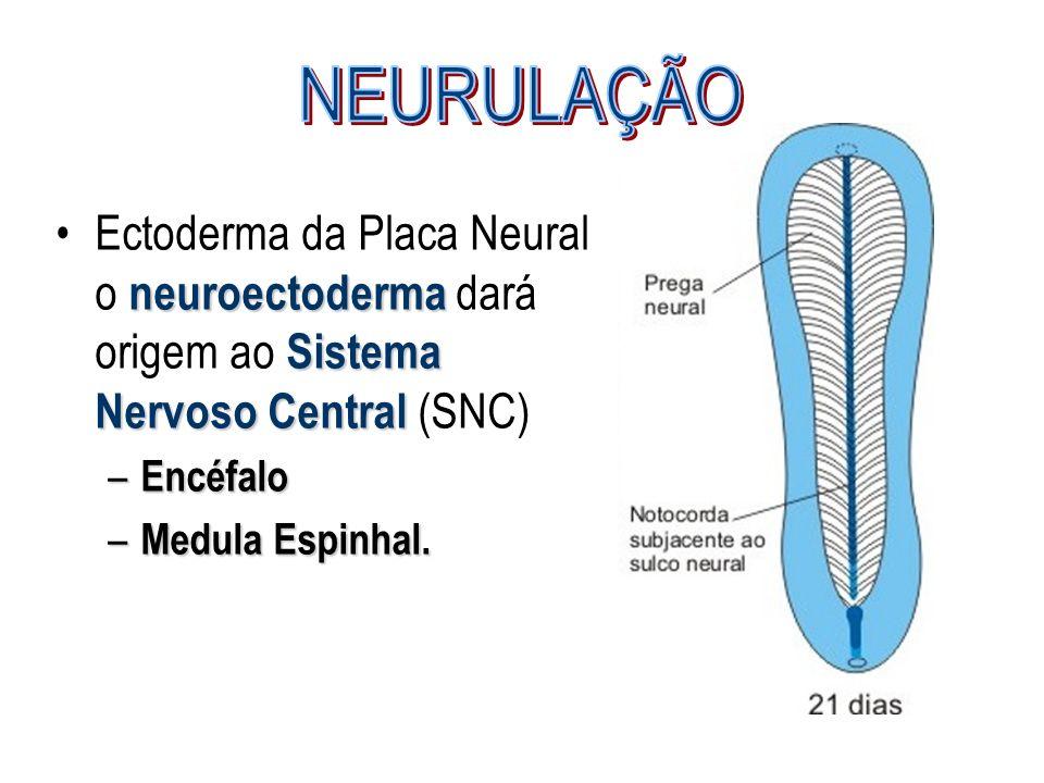 neuroectoderma Sistema Nervoso CentralEctoderma da Placa Neural o neuroectoderma dará origem ao Sistema Nervoso Central (SNC) – Encéfalo – Medula Espi