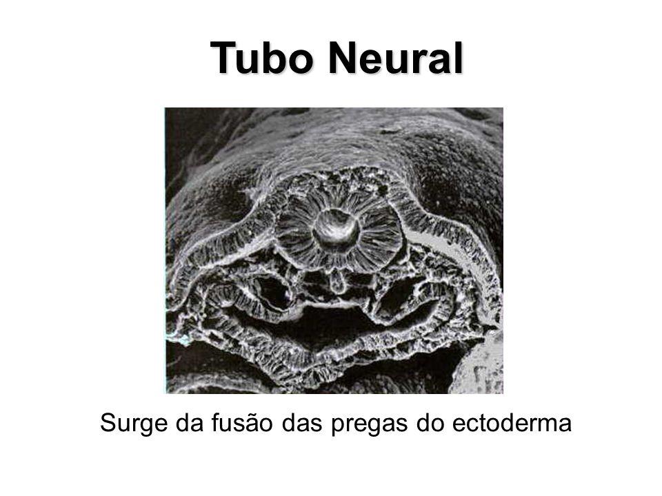 Tubo Neural Tubo Neural Surge da fusão das pregas do ectoderma