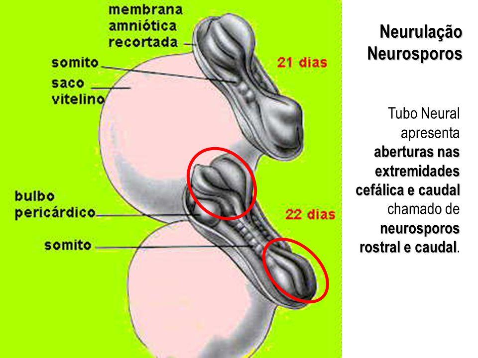 NeurulaçãoNeurosporos aberturas nas extremidades cefálica e caudal neurosporos rostral e caudal Tubo Neural apresenta aberturas nas extremidades cefál