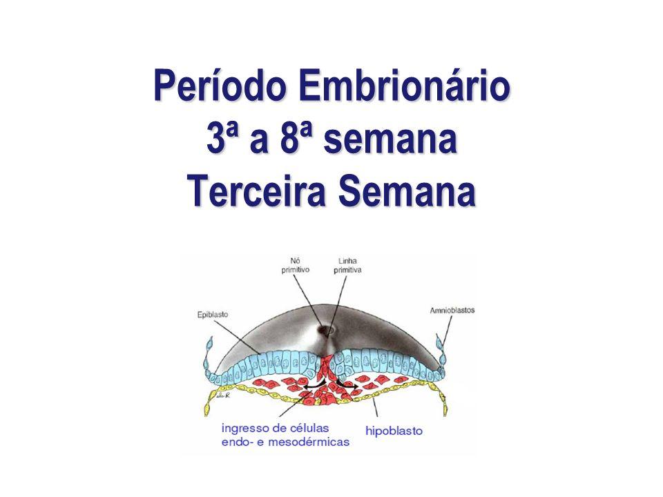 Período Embrionário 3ª a 8ª semana Terceira Semana