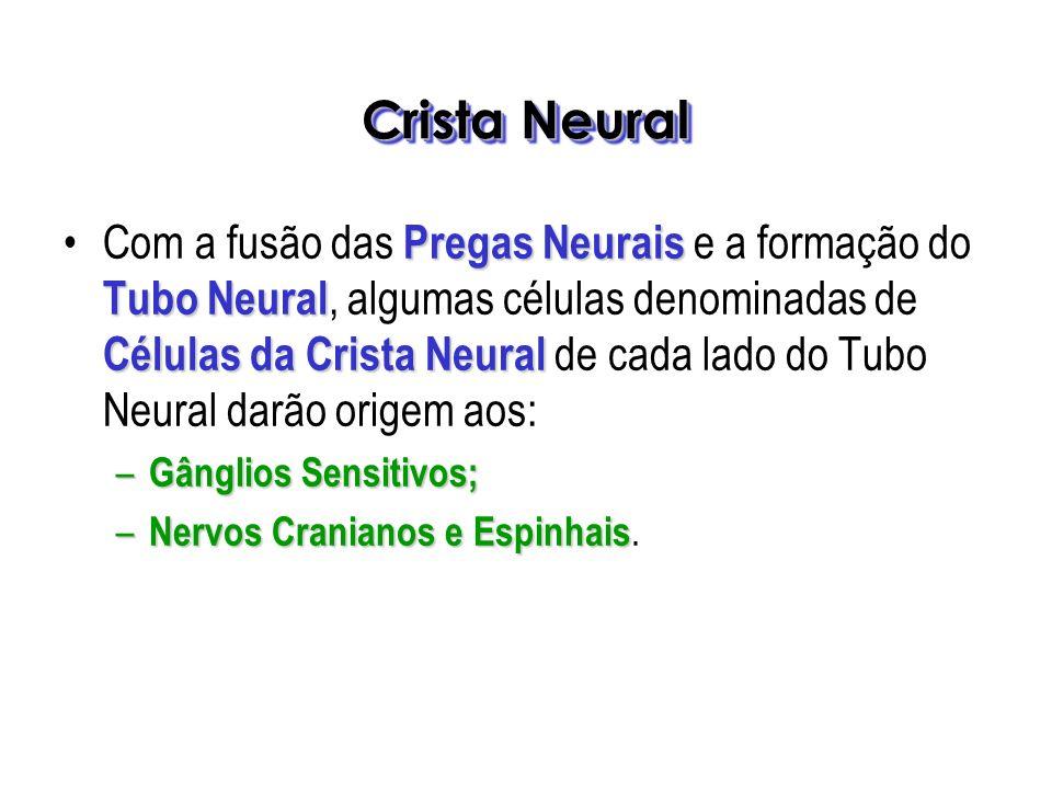 Pregas Neurais Tubo Neural Células da Crista NeuralCom a fusão das Pregas Neurais e a formação do Tubo Neural, algumas células denominadas de Células