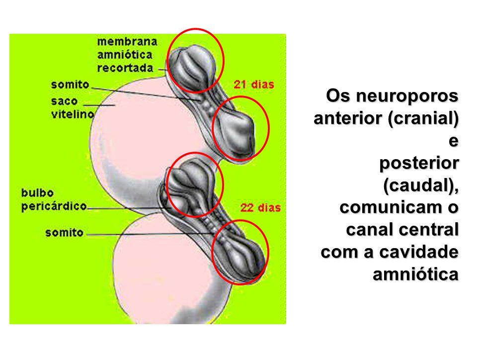 Os neuroporos anterior (cranial) e posterior (caudal), comunicam o canal central com a cavidade amniótica