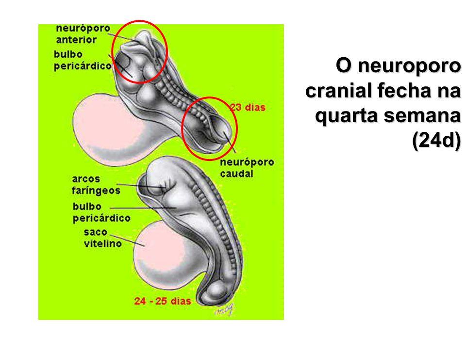 O neuroporo cranial fecha na quarta semana (24d)