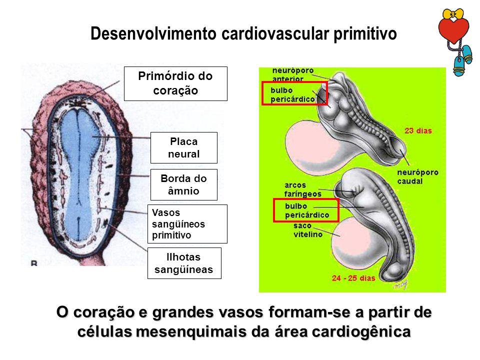 Primórdio do coração Vasos sangüíneos primitivo Ilhotas sangüíneas Placa neural Borda do âmnio Desenvolvimento cardiovascular primitivo O coração e gr