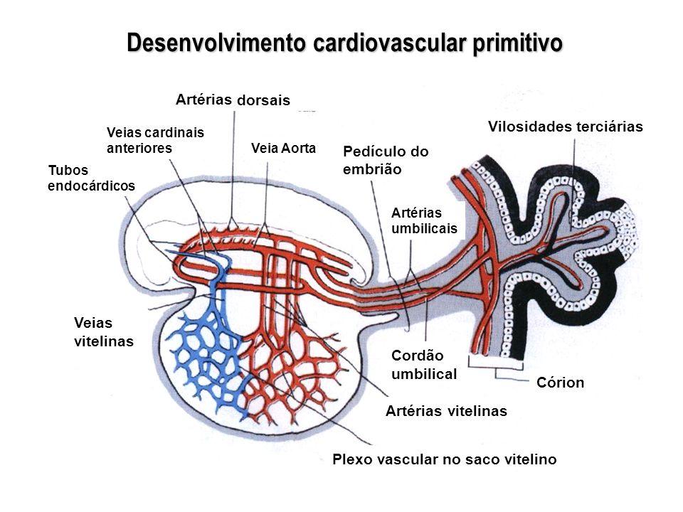 Artérias dorsais Veias cardinais anteriores Tubos endocárdicos Veia Aorta Pedículo do embrião Artérias umbilicais Veias vitelinas Vilosidades terciári