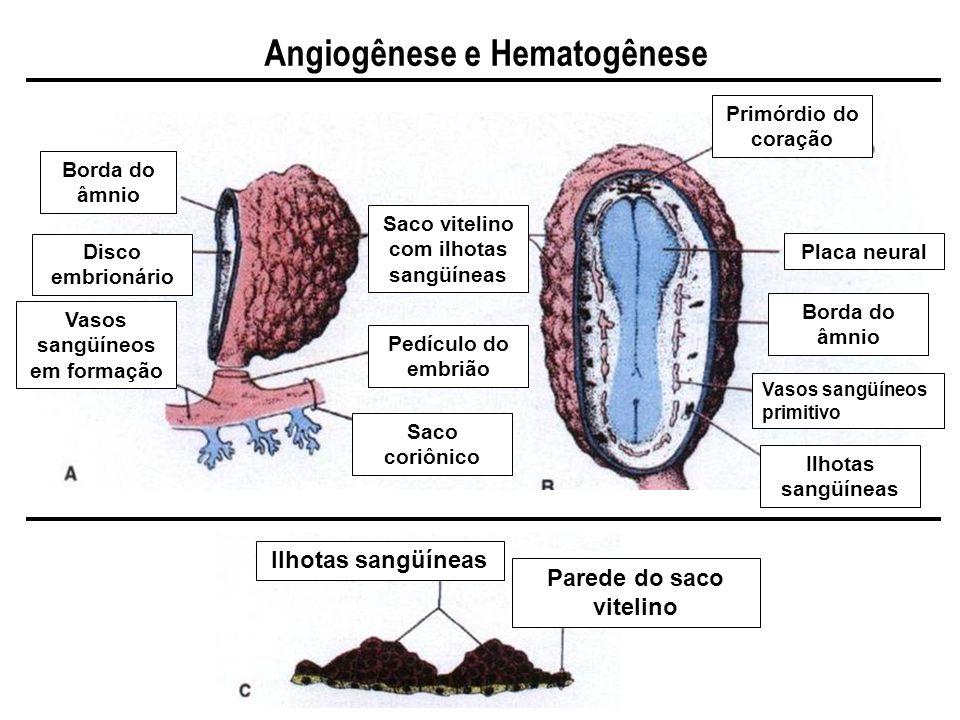 Angiogênese e Hematogênese Borda do âmnio Disco embrionário Vasos sangüíneos em formação Saco coriônico Saco vitelino com ilhotas sangüíneas Primórdio