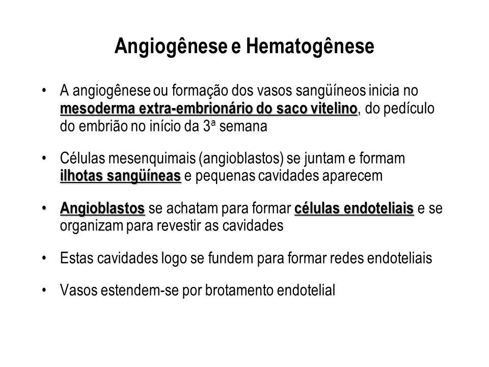 Angiogênese e Hematogênese mesoderma extra-embrionário do saco vitelinoA angiogênese ou formação dos vasos sangüíneos inicia no mesoderma extra-embrio