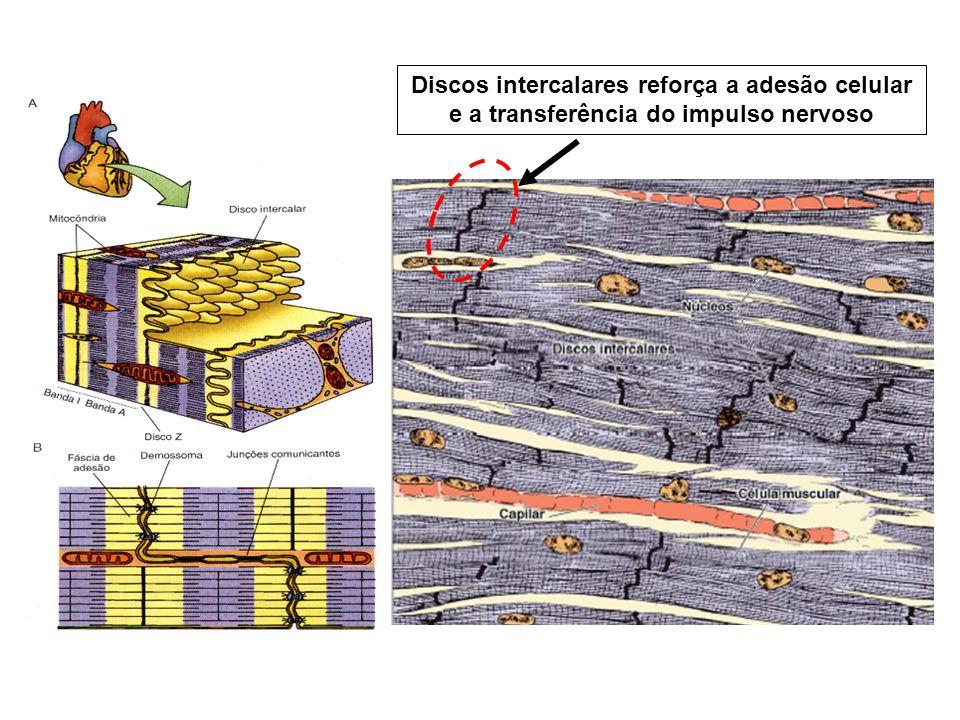 Discos intercalares reforça a adesão celular e a transferência do impulso nervoso