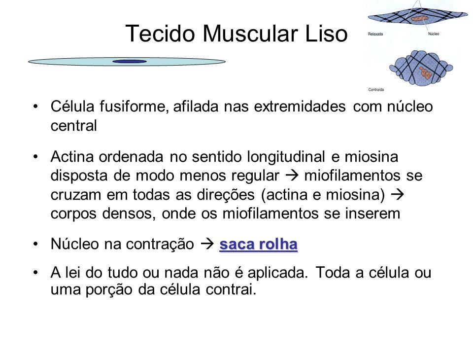 Tecido Muscular Liso Célula fusiforme, afilada nas extremidades com núcleo central Actina ordenada no sentido longitudinal e miosina disposta de modo