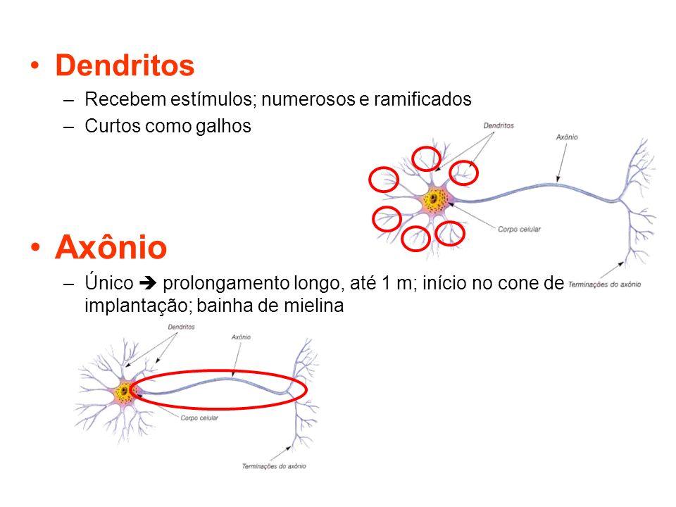Dendritos –Recebem estímulos; numerosos e ramificados –Curtos como galhos Axônio –Único prolongamento longo, até 1 m; início no cone de implantação; b