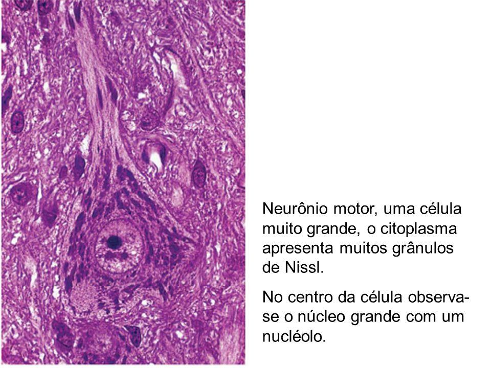 Neurônio motor, uma célula muito grande, o citoplasma apresenta muitos grânulos de Nissl. No centro da célula observa- se o núcleo grande com um nuclé