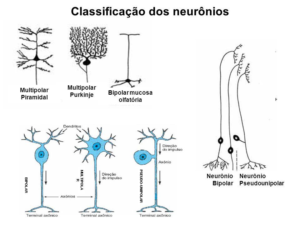 Neurônio Bipolar Neurônio Pseudounipolar Multipolar Purkinje Multipolar Piramidal Bipolar mucosa olfatória BIPOLAR MULTIPOLA R PSEUDO-UNIPOLAR Classif