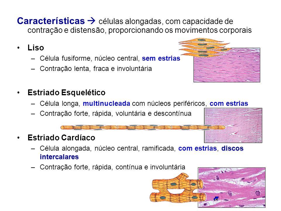 Características células alongadas, com capacidade de contração e distensão, proporcionando os movimentos corporais Liso –Célula fusiforme, núcleo cent