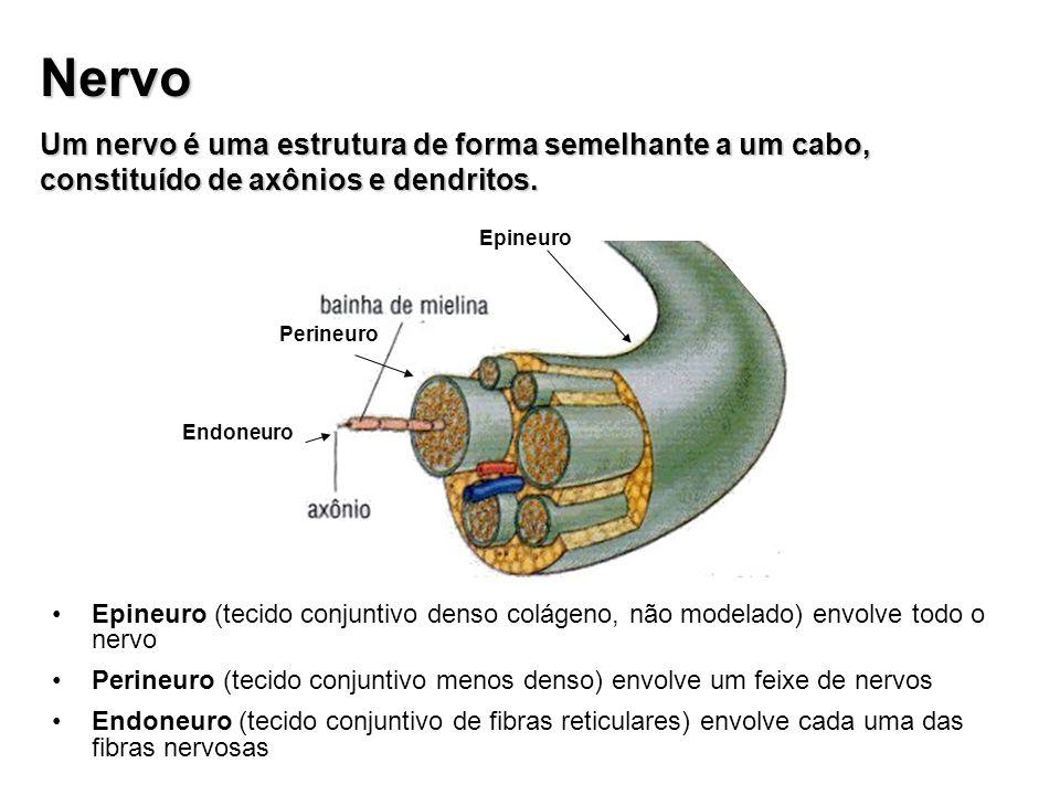 Nervo Um nervo é uma estrutura de forma semelhante a um cabo, constituído de axônios e dendritos. Epineuro Perineuro Endoneuro Epineuro (tecido conjun
