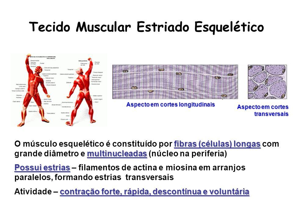 fibras (células) longas multinucleadas O músculo esquelético é constituído por fibras (células) longas com grande diâmetro e multinucleadas (núcleo na