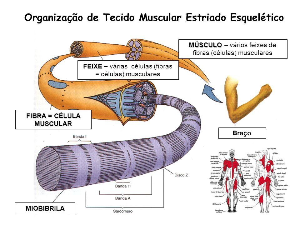 Organização de Tecido Muscular Estriado Esquelético Braço FEIXE FEIXE – várias células (fibras = células) musculares FIBRA = CÉLULA MUSCULAR MIOBIBRIL
