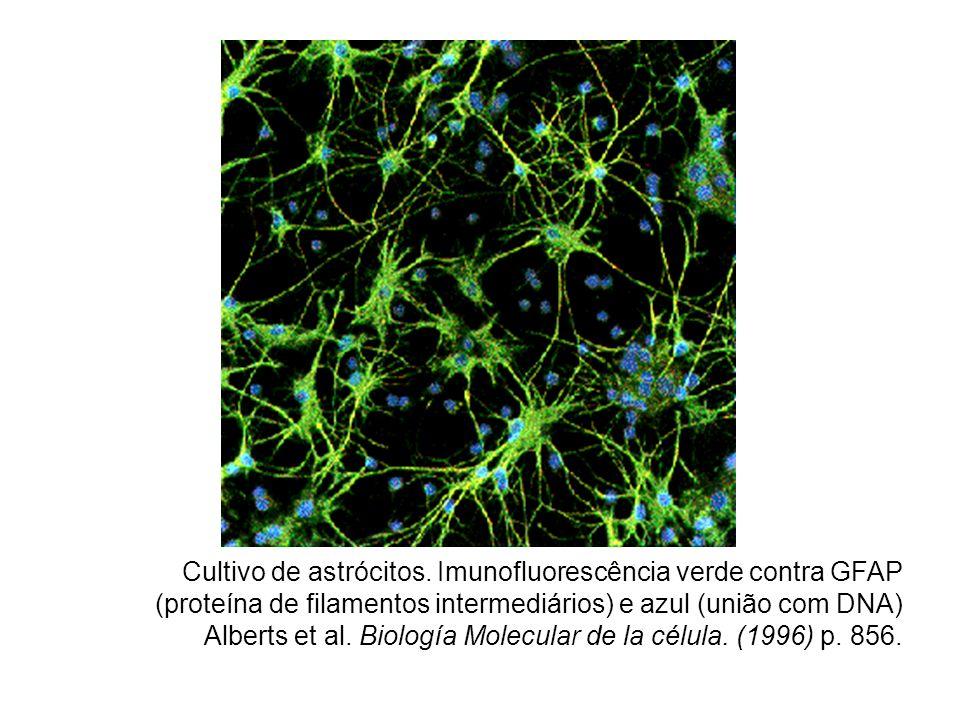 Cultivo de astrócitos. Imunofluorescência verde contra GFAP (proteína de filamentos intermediários) e azul (união com DNA) Alberts et al. Biología Mol