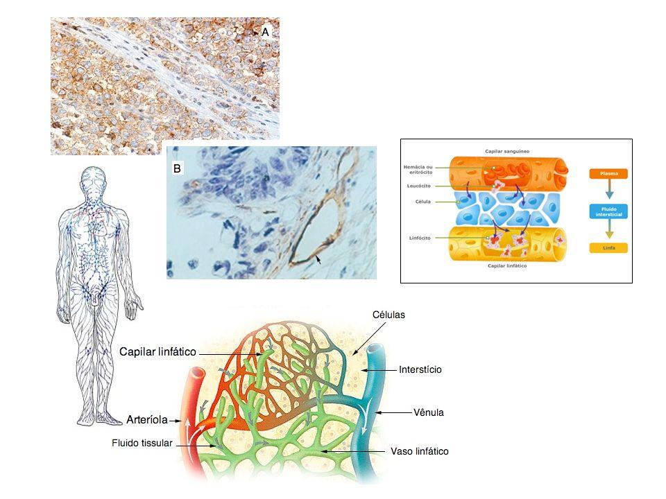 Baço A maior massa de tecido linfático do corpo Situado na cavidade abdominal, no quadrante superior esquerdo O baço produz, controla, armazena e destrói células sangüíneas