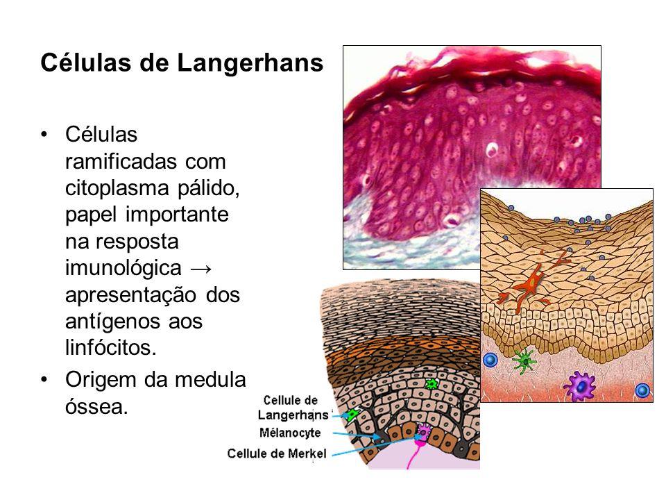 Células de Langerhans Células ramificadas com citoplasma pálido, papel importante na resposta imunológica apresentação dos antígenos aos linfócitos. O