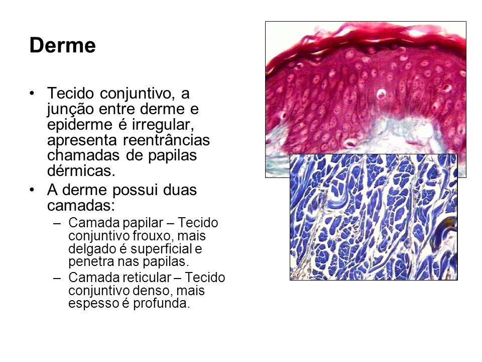 Derme Tecido conjuntivo, a junção entre derme e epiderme é irregular, apresenta reentrâncias chamadas de papilas dérmicas. A derme possui duas camadas