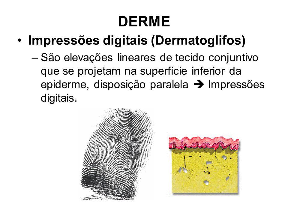 DERME Impressões digitais (Dermatoglifos) –São elevações lineares de tecido conjuntivo que se projetam na superfície inferior da epiderme, disposição