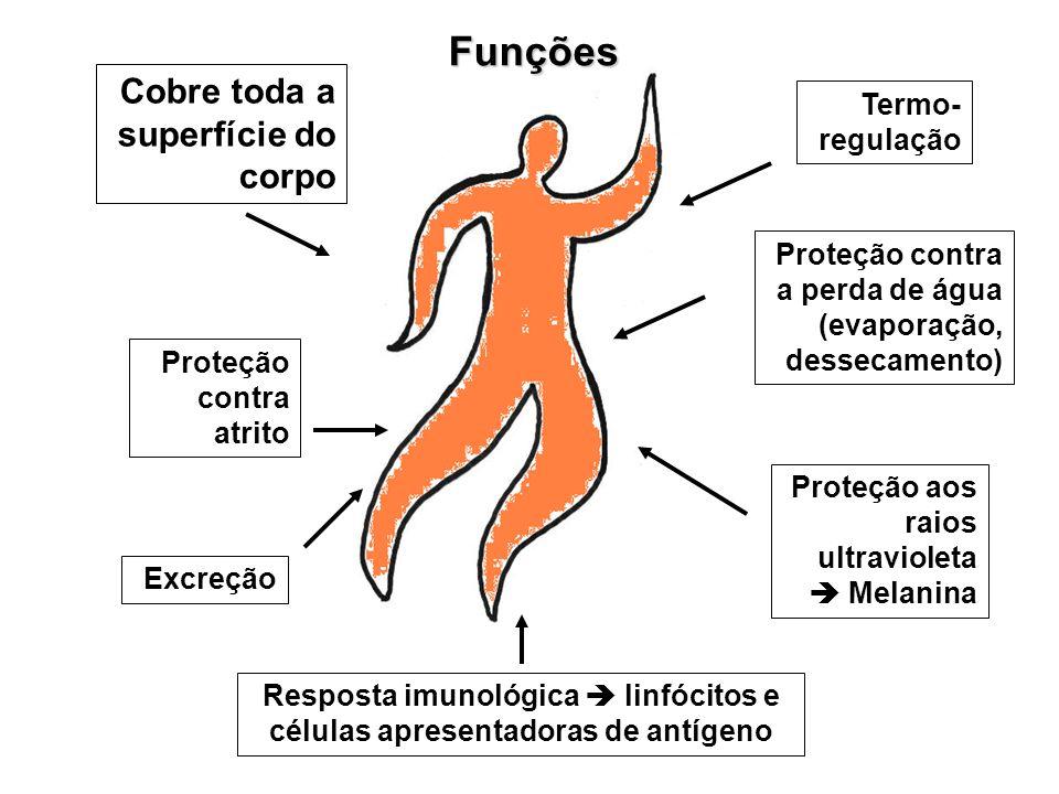 Cobre toda a superfície do corpo Proteção contra a perda de água (evaporação, dessecamento) Resposta imunológica linfócitos e células apresentadoras d