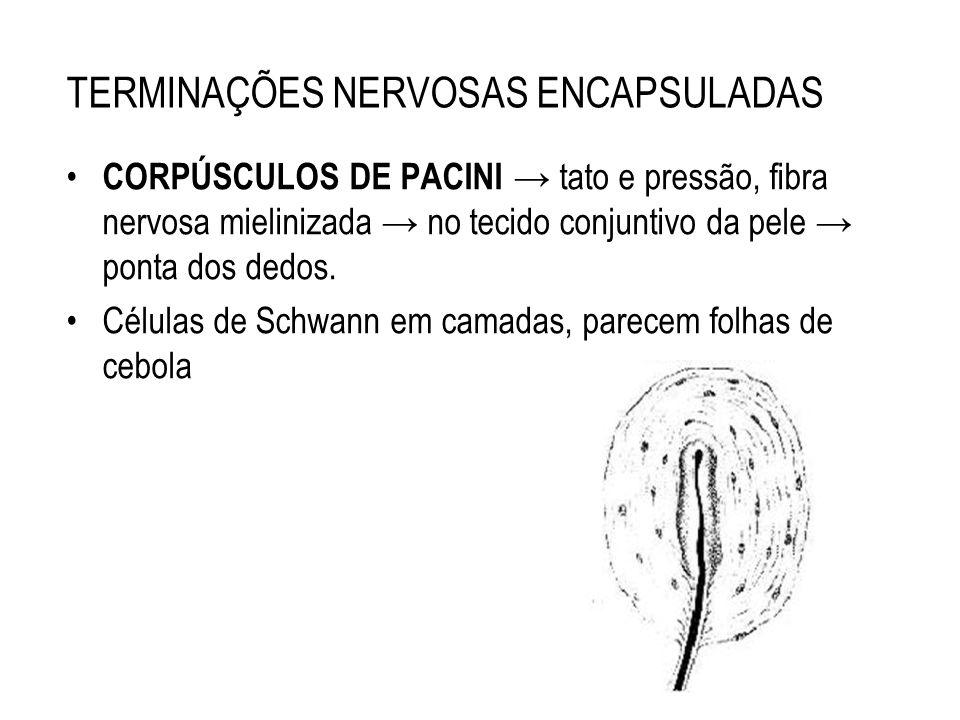 TERMINAÇÕES NERVOSAS ENCAPSULADAS CORPÚSCULOS DE PACINI tato e pressão, fibra nervosa mielinizada no tecido conjuntivo da pele ponta dos dedos. Célula