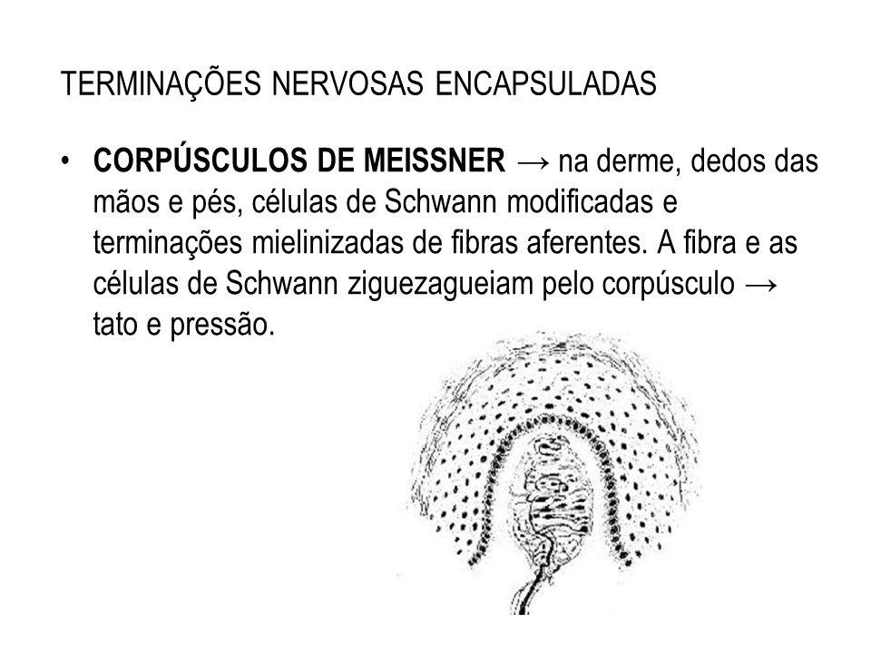 TERMINAÇÕES NERVOSAS ENCAPSULADAS CORPÚSCULOS DE MEISSNER na derme, dedos das mãos e pés, células de Schwann modificadas e terminações mielinizadas de
