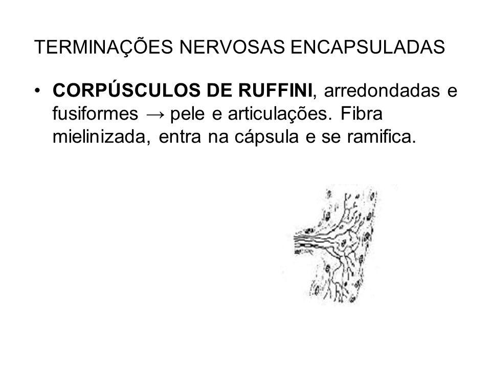 TERMINAÇÕES NERVOSAS ENCAPSULADAS CORPÚSCULOS DE RUFFINI, arredondadas e fusiformes pele e articulações. Fibra mielinizada, entra na cápsula e se rami
