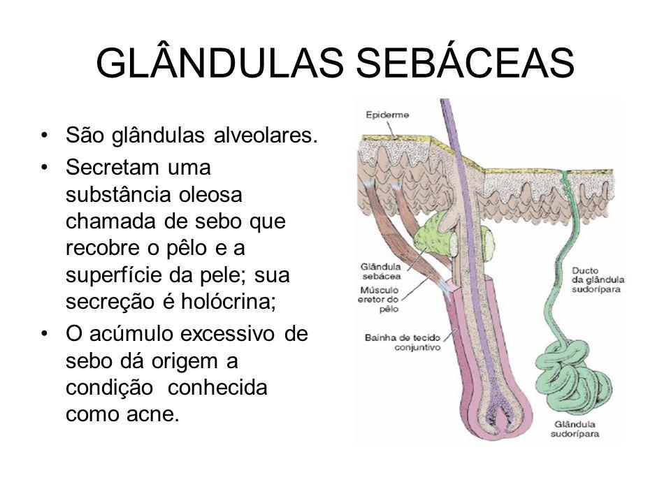 GLÂNDULAS SEBÁCEAS São glândulas alveolares. Secretam uma substância oleosa chamada de sebo que recobre o pêlo e a superfície da pele; sua secreção é